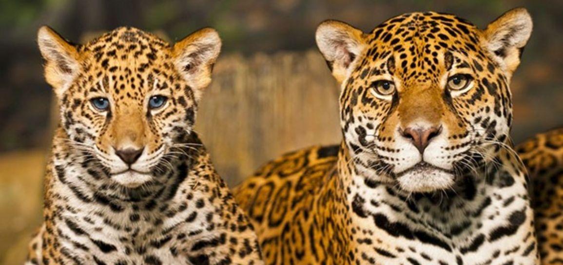 Jaguar, Mexique