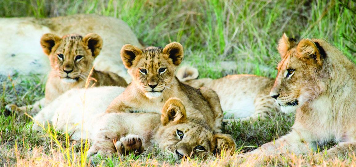 Lions, Afrique du Sud