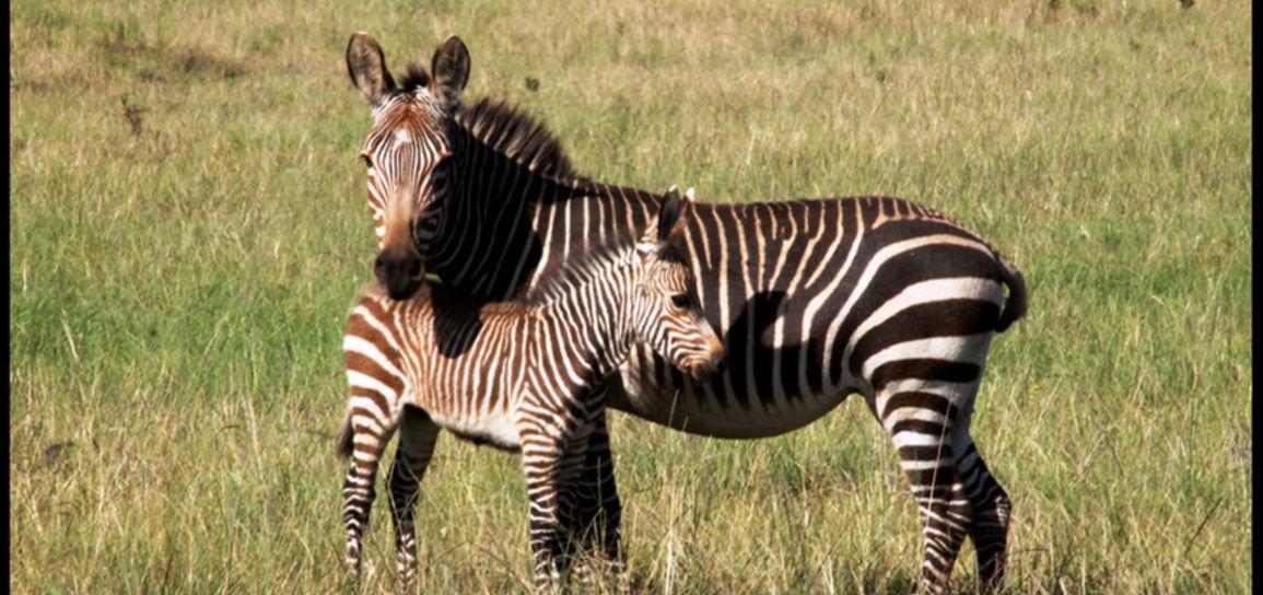Zèbres, Afrique du Sud