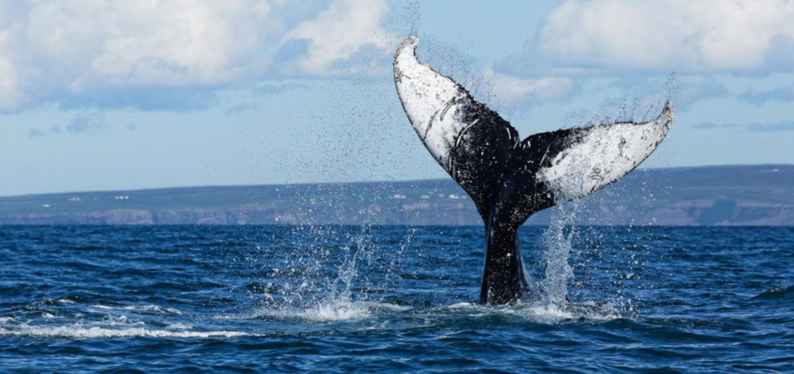 Baleine, Islande