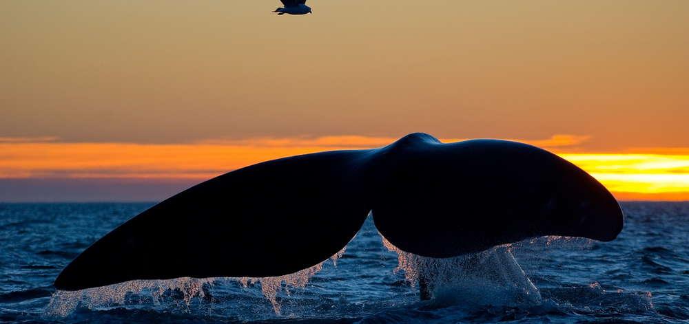 Baleine Australe de la Péninsule de Valdès