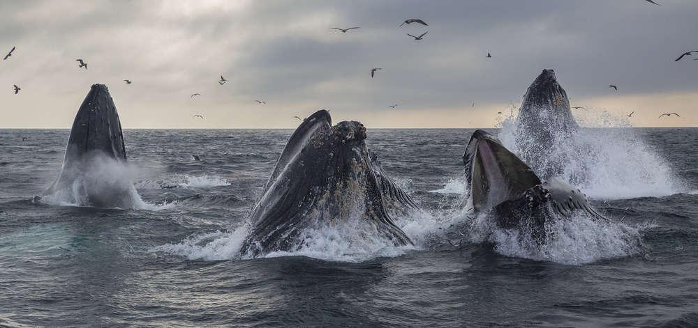 Festin pour les Baleines Australes