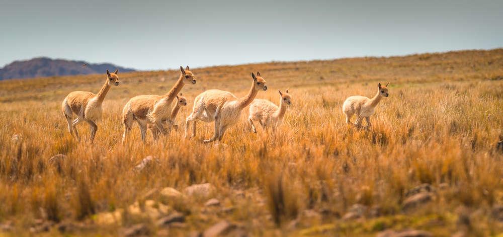 Guanacos des Plateaux Andins
