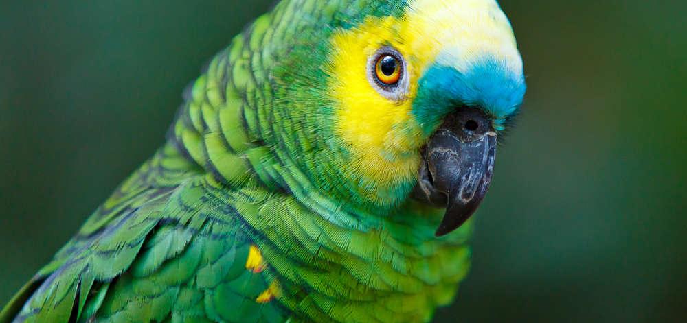 Perruche du Parc National d'Iguazu