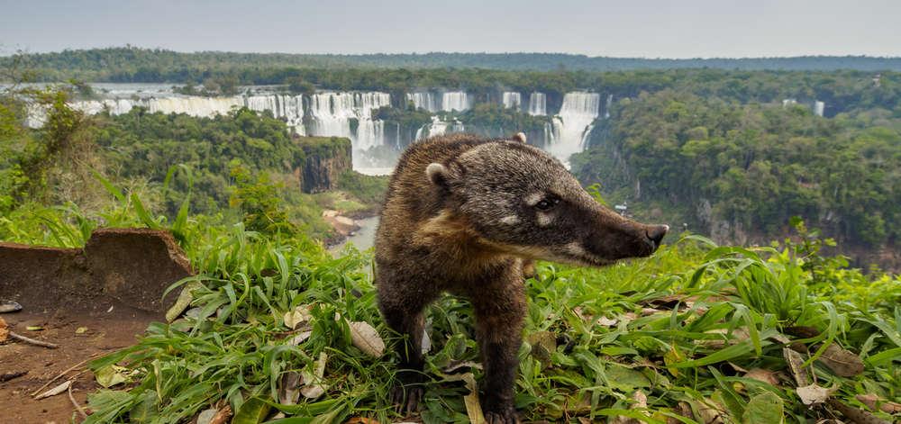 Coati devant les Chutes d'Iguazu