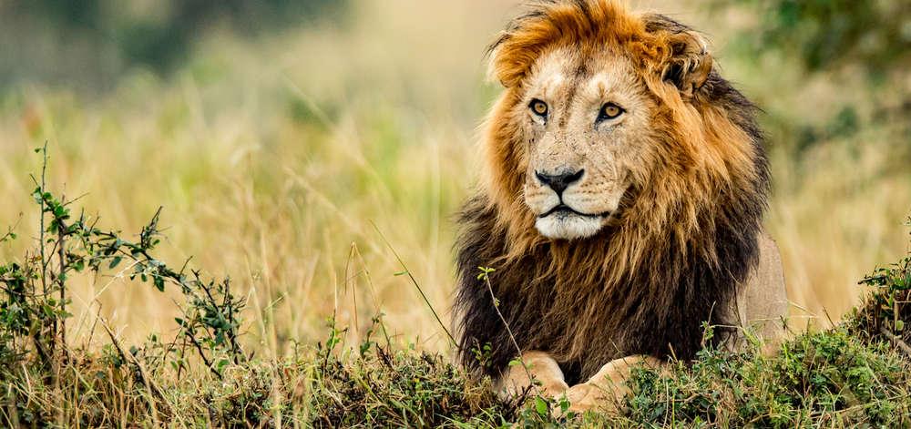 Lion du Waterberg