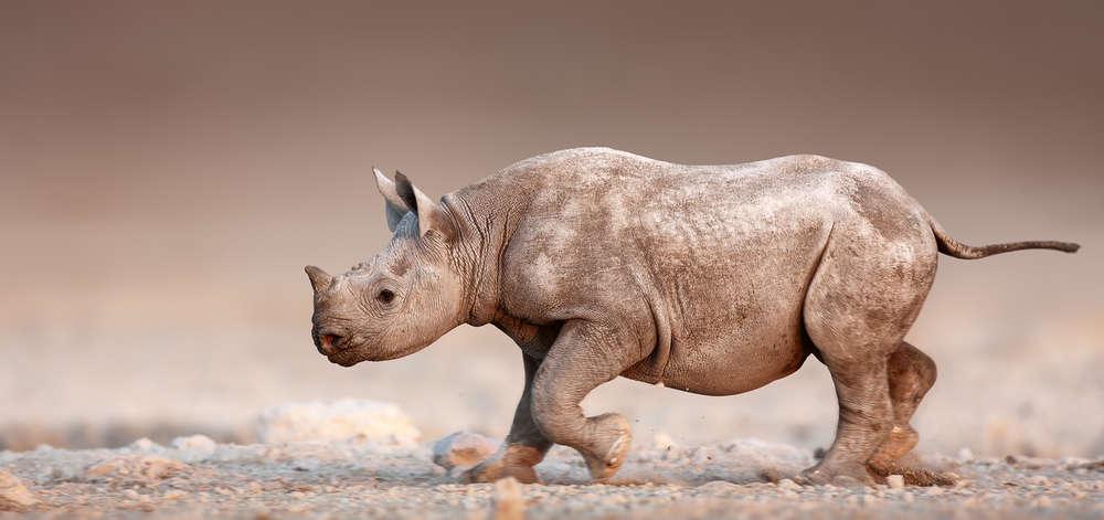 Rhinocéros sur le Pan d'Etosha