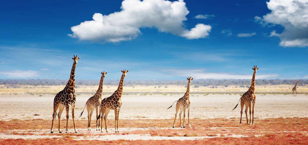 Girafes sur le Pan d'Etosha