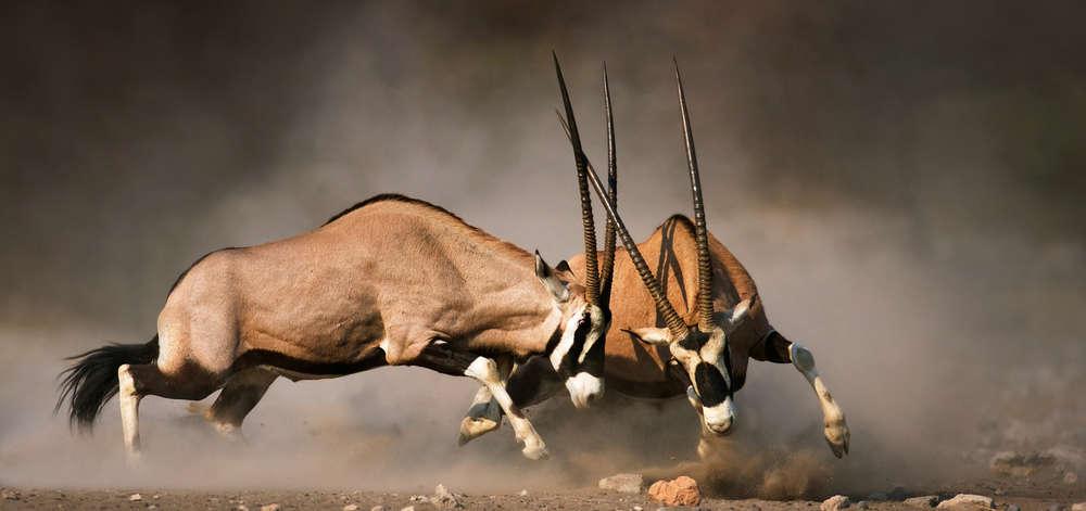 Combat d'Oryx dans le désert