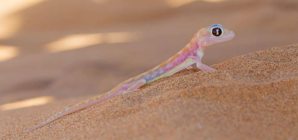 Gecko du Namib