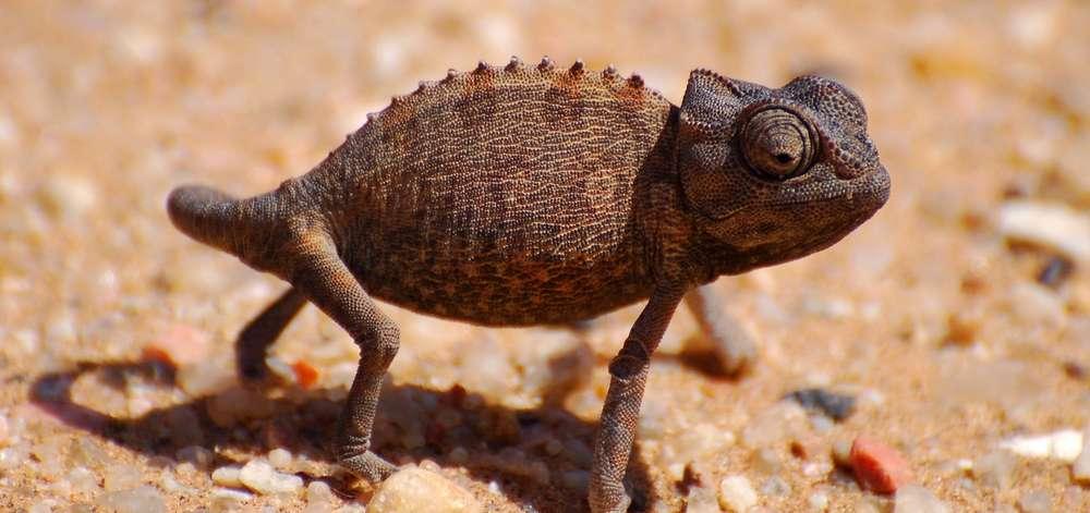 Caméléon du désert