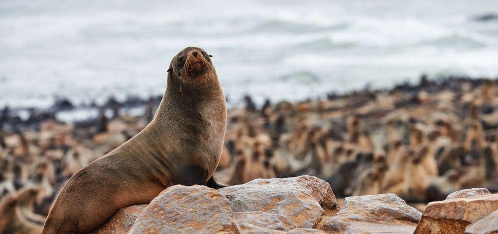 Lions de Mer de la Isla de Lobos