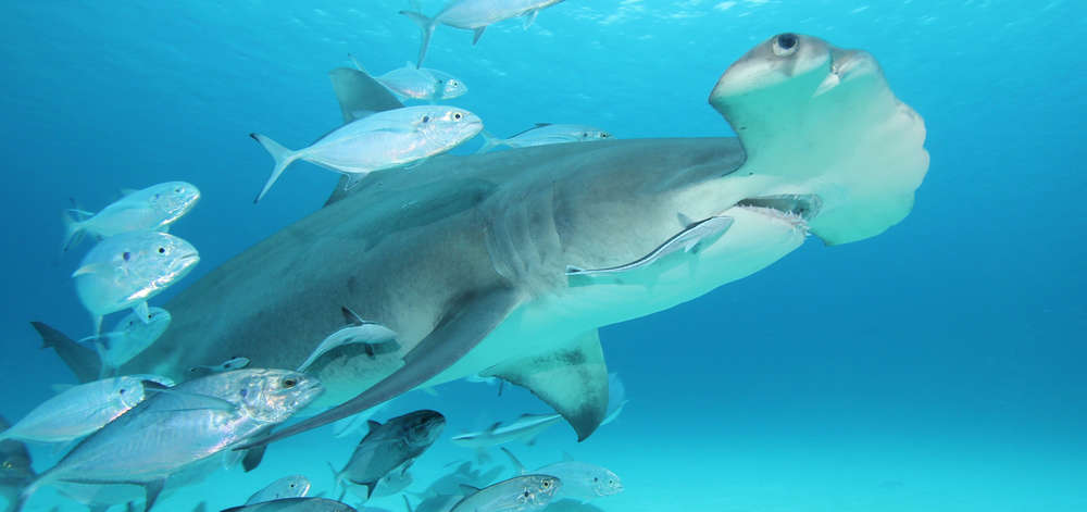 Requin-marteau, New Providence