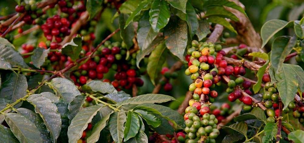 Plantations de Café