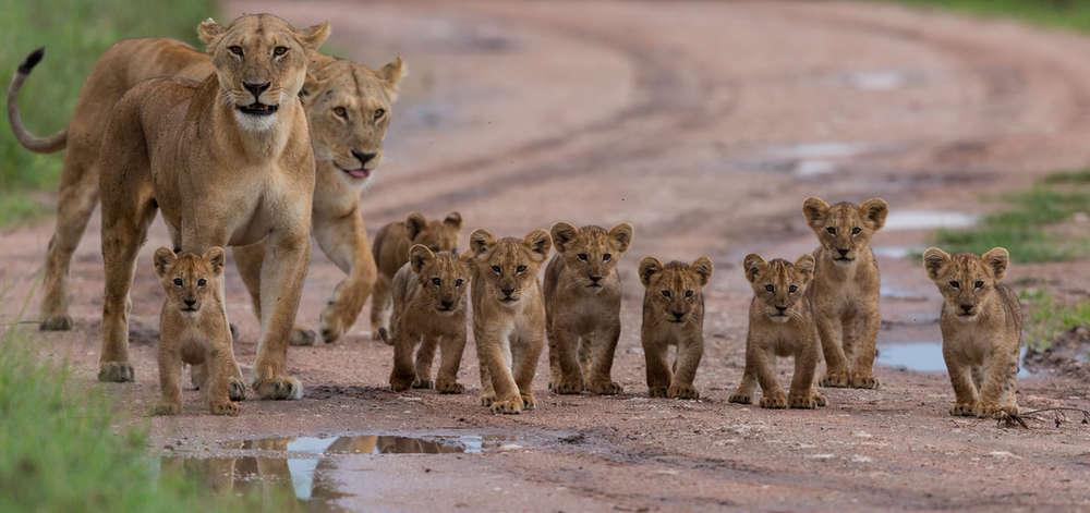 Famille de Lion à Manyara