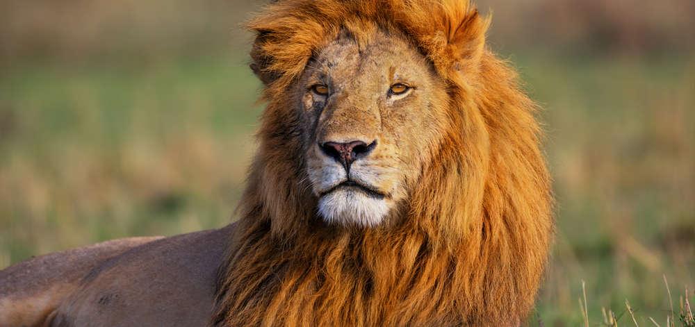 Lion du Cratère