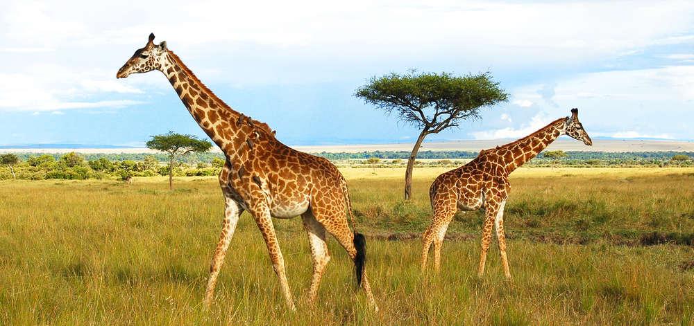 Girafes dans la Savane