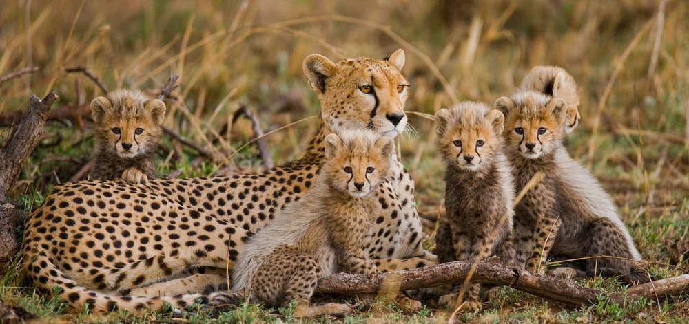 Famille de Guépards dans le Cratère