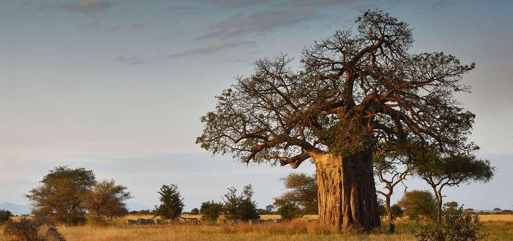 Baobab du Tarangire