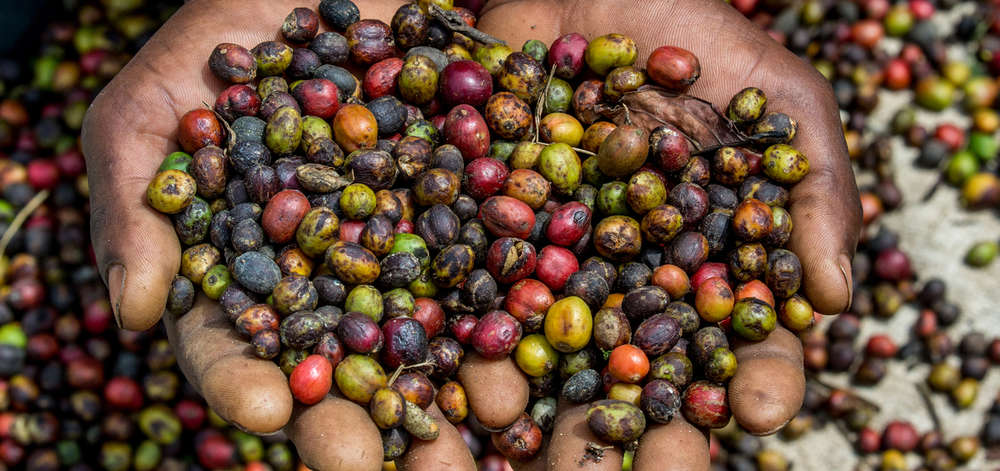 Grains de Café Tanzanien