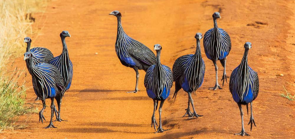 Pintades de Guinée sur une Piste à Tsavo