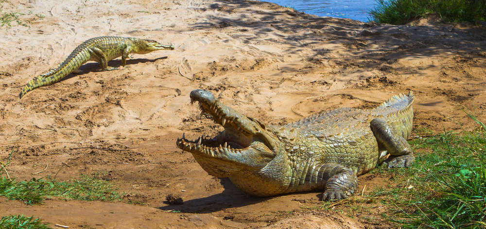 Crocodile de Tsavo