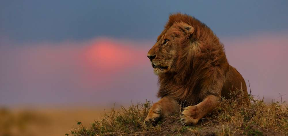 Lion à Amboseli