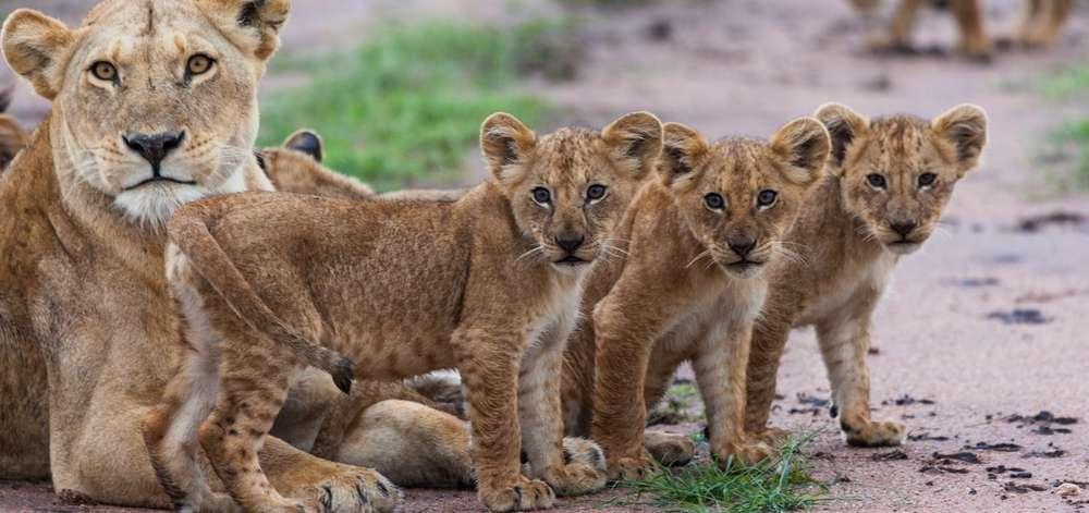 Famille de Lions à Tsavo