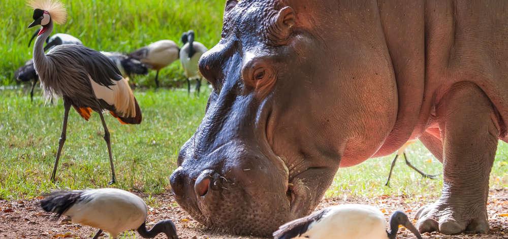 Hippopotame à Amboseli