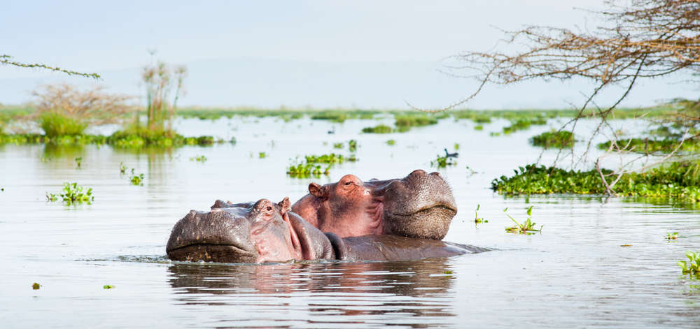 Hippopotames de Naivasha
