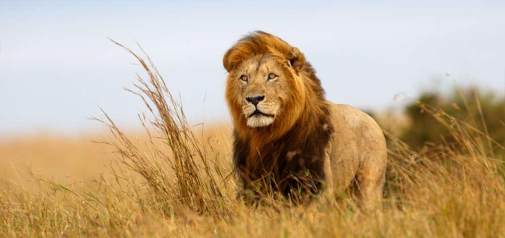 Lion du Mara