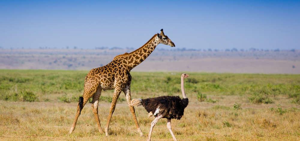 Girafe et Autruche dans le Mara
