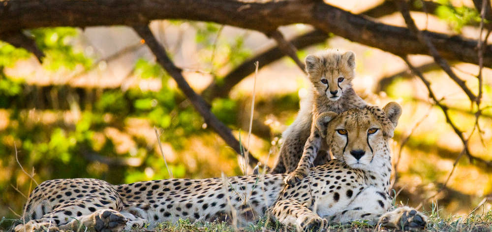 Famille de Guépards à Amboseli