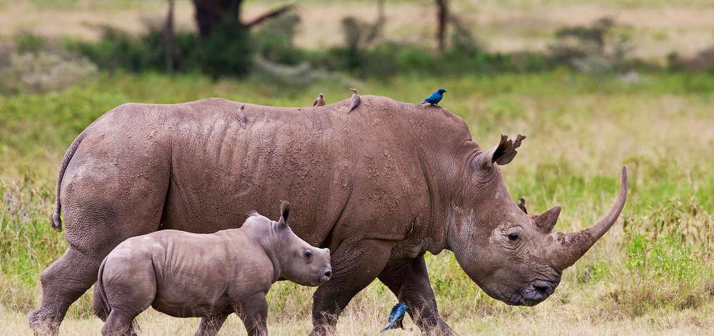 Famille de Rhinocéros du Mara