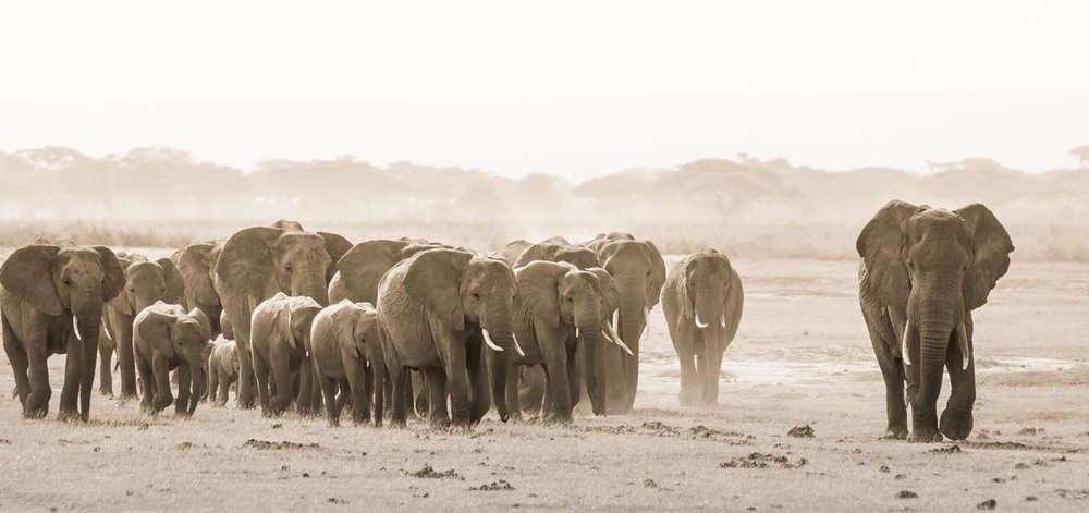 Horde d'Éléphants