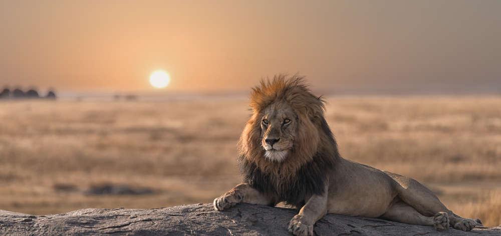 Lion dans le Mara