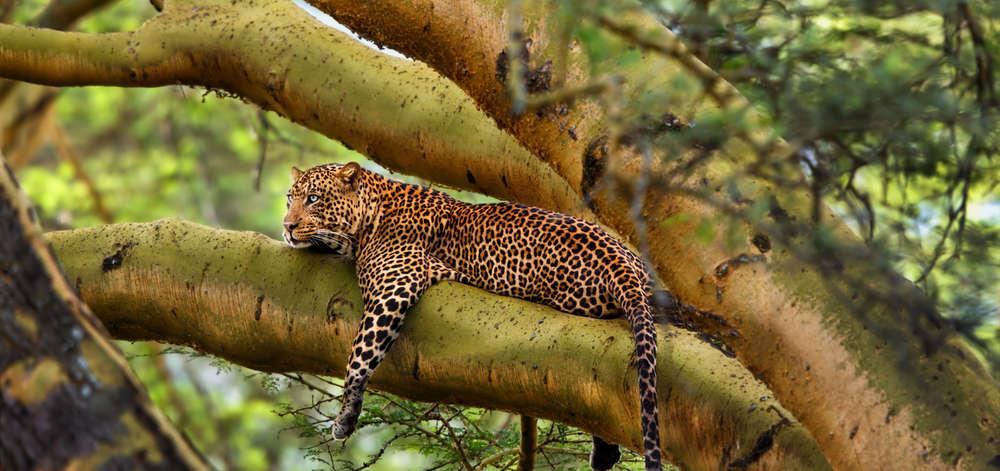 Léopard de Nakuru