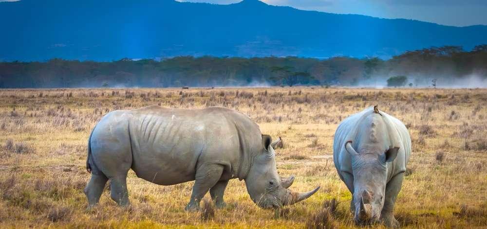 Couple de Rhinocéros du Lac Nakuru