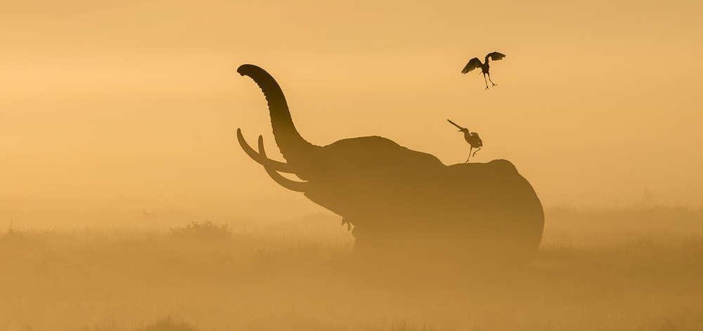Éléphant dans la brume matinale