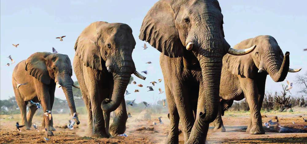 Troupeaux d'Éléphants à Amboseli