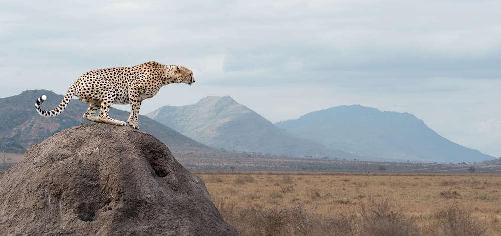 Guépard de Tsavo