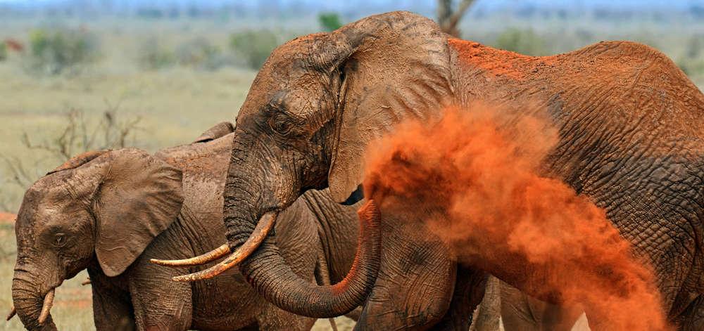 """Éléphants """"Rouges"""" de Tsavo"""
