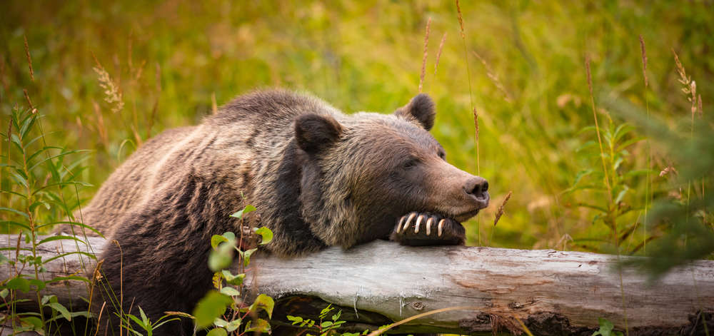 Grizzly, Banff National Park