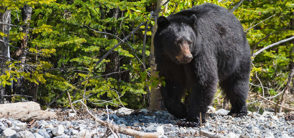 Ours noir, Jasper National Park