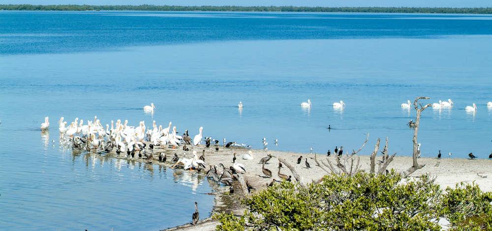 Oiseaux sur l'Île Parajos, Holbox