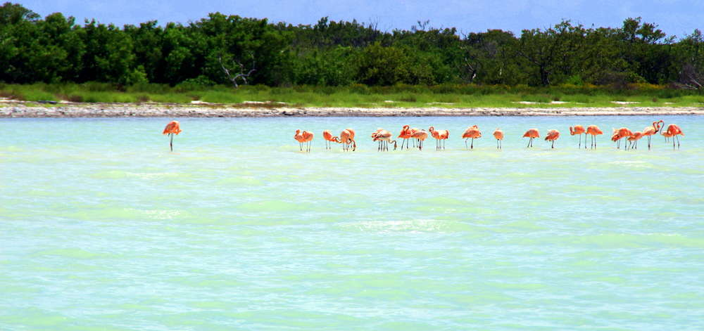 Flamants roses, Holbox