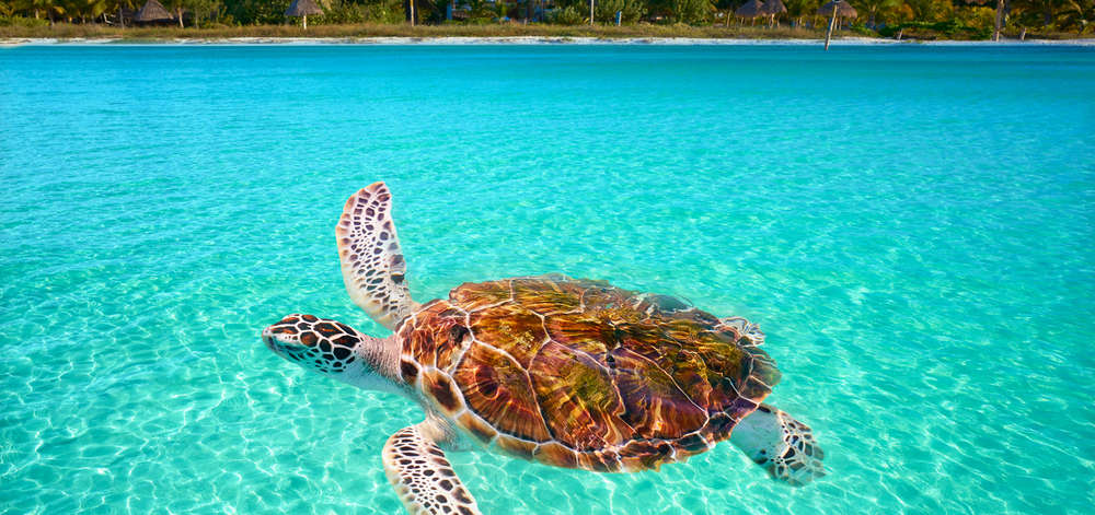Tortue, Holbox