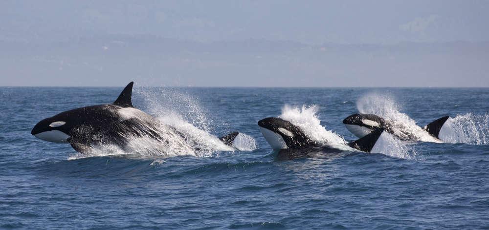 Orques du Détroit de Magellan