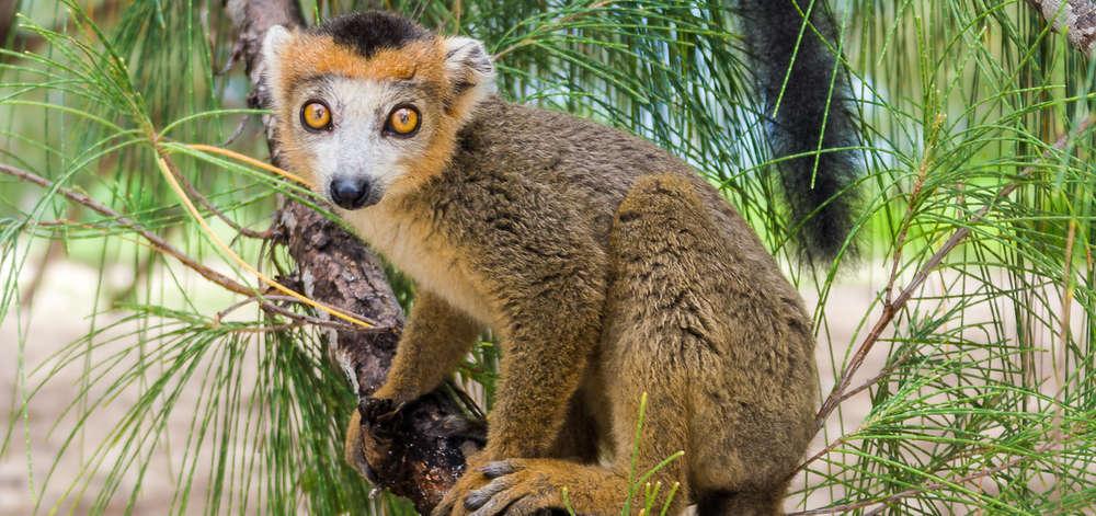 Lémurien de Nosy Komba