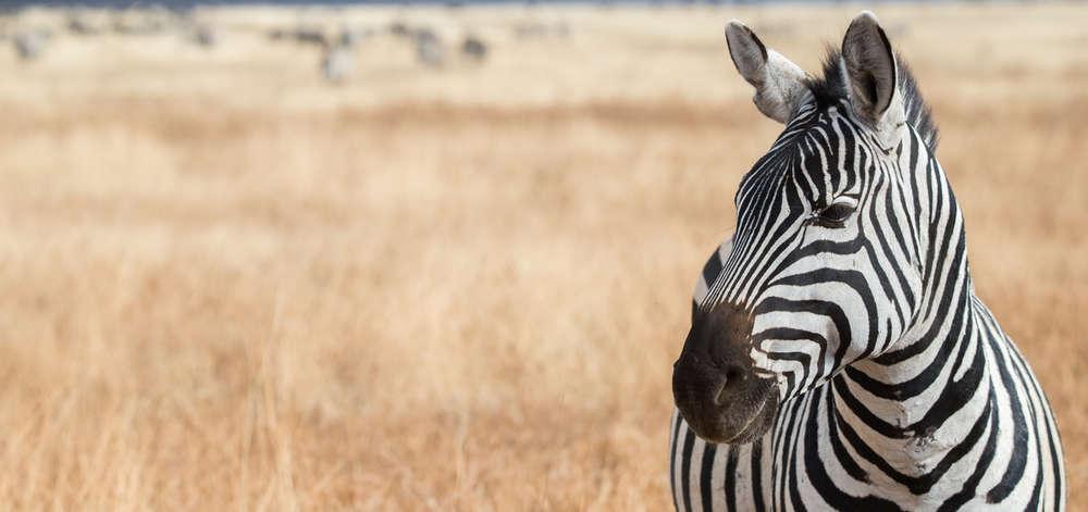Safari avec les Zèbres du Karoo